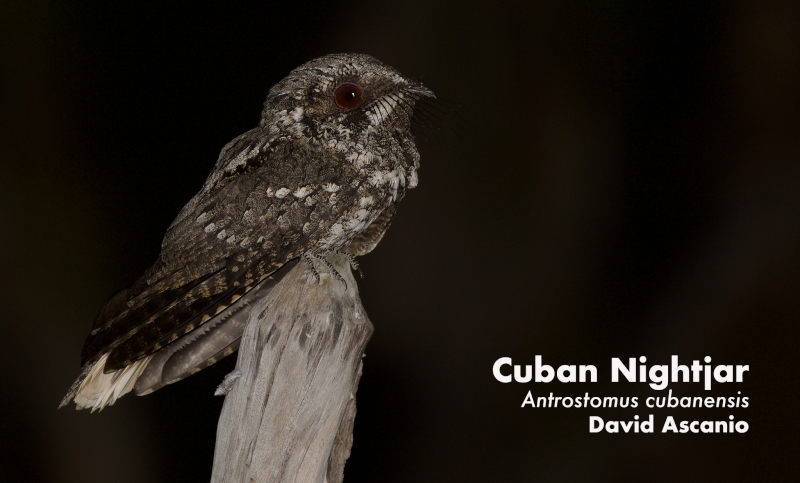 Cuban Nightjar