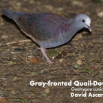 Grey-fronted Quail-Dove