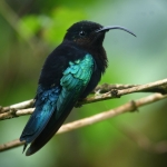 Purple-throated Carib
