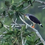 White-browed Hawk