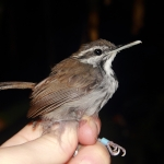 Collared Gnatwren