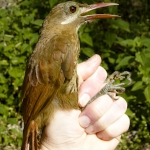 Red-billed Woodcreeper