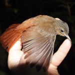 Spot-throated Woodcreeper
