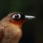 Rufous-throated Antbird