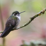 Green-throated Mountaingem