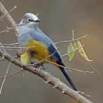Grey Silky-flycatcher