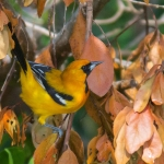 Orange Oriole