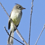 Pileated Flycatcher