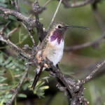 Lucifer Sheartail