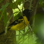 Bar-winged Oriole