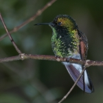 White-tailed Hummingbird