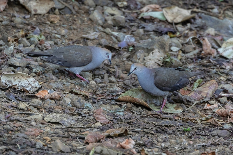 Grey-chested Dove