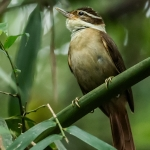 White-collared Foliage-gleaner