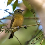 McConnell's Flycatcher