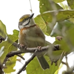 Chestnut-sided Shrike-Vireo