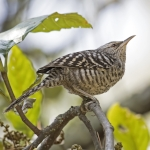Grey-barred Wren