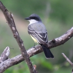 Snowy-throated Kingbird