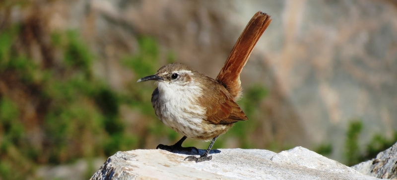 Straight-billed Earthcreeper