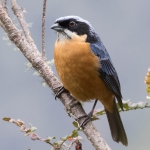 Chestnut-bellied Mountain Tanager