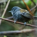 Grey-headed Antbird