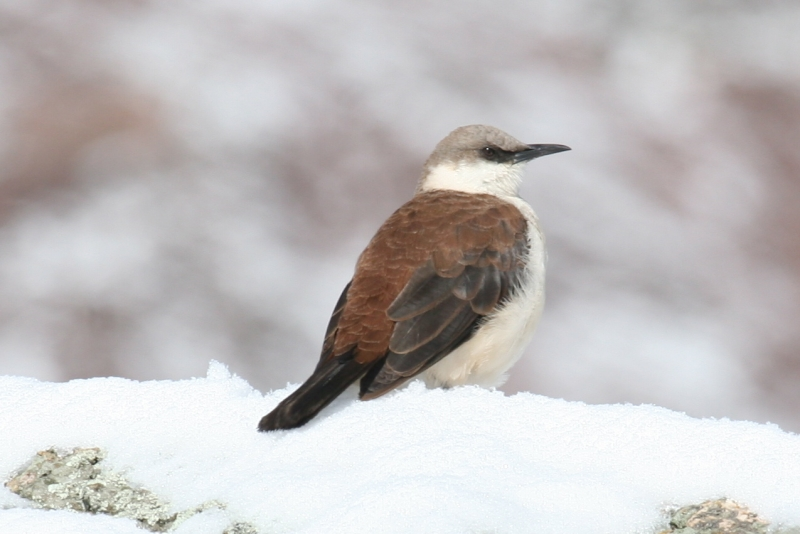 White-bellied Cinclodes