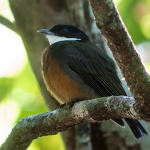 Flame-crested Manakin