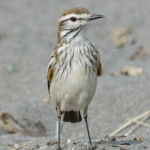 Rusty-backed Monjita