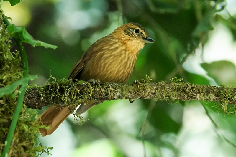 Rufous-necked Foliage-gleaner