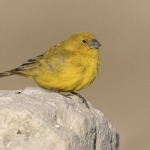 Puna Yellow Finch