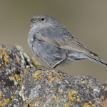 Plumbeous Sierra Finch