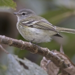 Sclater's Tyrannulet