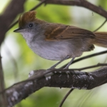 White-lined Antbird