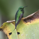 Rufous-booted Racket-tail