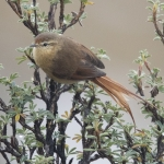 Tawny Tit-Spinetail