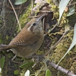 Mountain Wren
