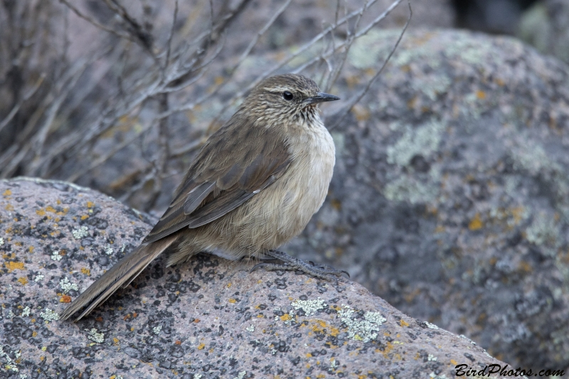 Streak-throated Canastero