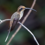 Streak-throated Hermit