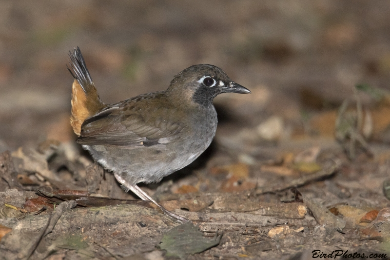 Black-faced Antthrush