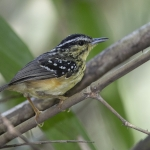Yellow-breasted Warbling Antbird