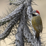 Black-necked Woodpecker