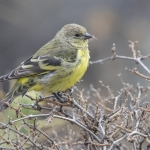 Yellow-rumped Siskin