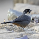 Rusty-bellied Brushfinch
