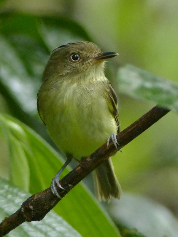 Double-banded Pygmy Tyrant