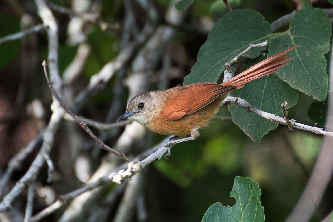White-lored Spinetail