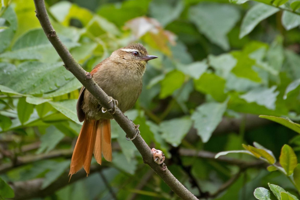 Olive Spinetail