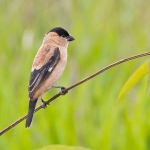 Copper Seedeater