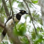 White-naped Jay