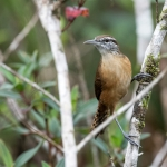 Long-billed Wren