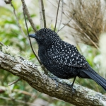 Large-tailed Antshrike
