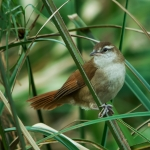 Curve-billed Reedhaunter